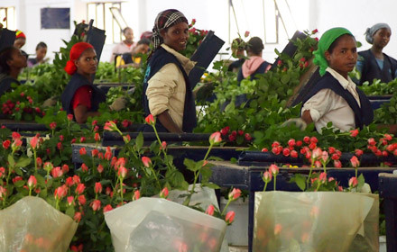 Ethiopia pockets 271 mln USD from flower, horticulture export