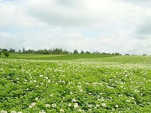 北海道のジャガイモ畑の写真