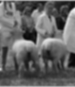 docking sheep tails