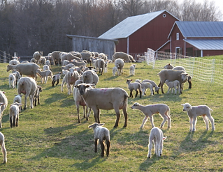 sheep in spring pasture