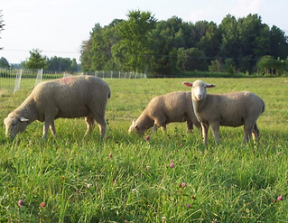 sheep booroola gene