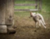 running lamb