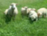 6 sheep summer