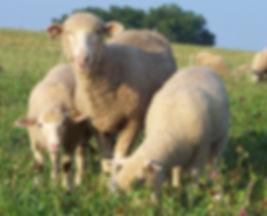 wool lambs
