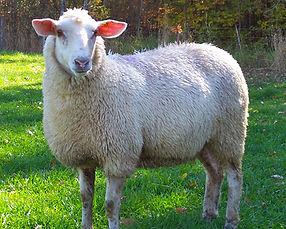 Bear Creek Station Sheep