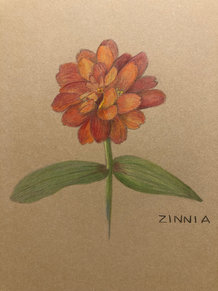 49. Zinn-Zinnia