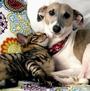 Léo et Enzo (chat Bengal)