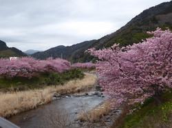 2018 cherry blossoms