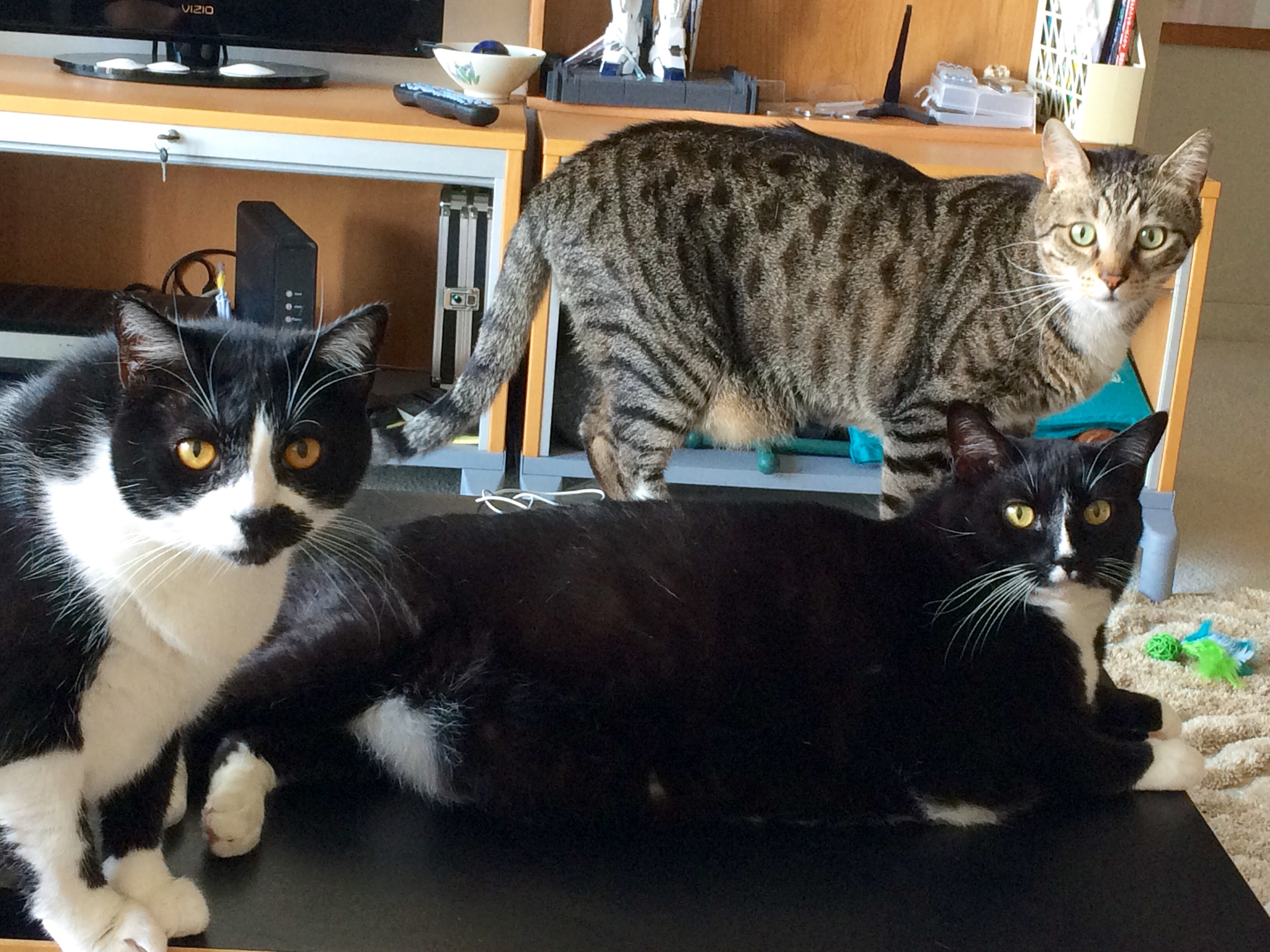 Cat Sitting: Rimpie, Bassai, Fanchi
