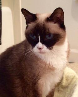 Cat Sitting: Sheba