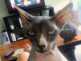 Cat sitting for the Sphynx is an affectionate, warm, and loving experience.