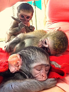 These babies receive shelter, care, and vervet foster mums at the South Africa sanctuary.