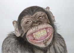 chimpanzee-m