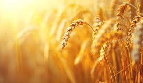 A vida escondida do grão de trigo