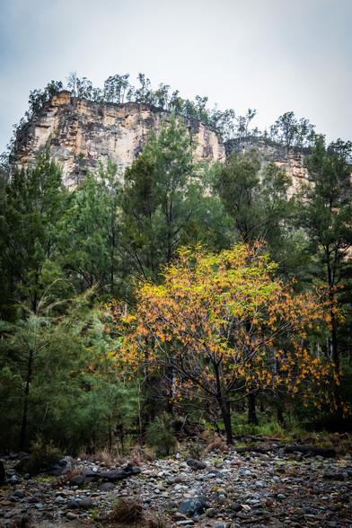 Yellow Tree - Carnarvon Gorge