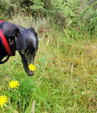 Greyhound sniffing a dandelion