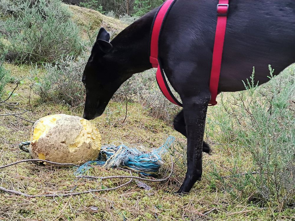 A Greyhound sniffing litter in a Forest
