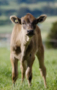 Calf portrait 2.jpg