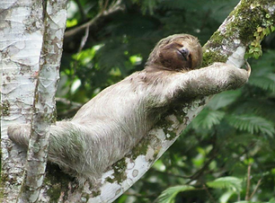 Blue river Sloth.png