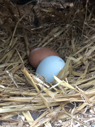 Freshly laid eggs by our free-range hens