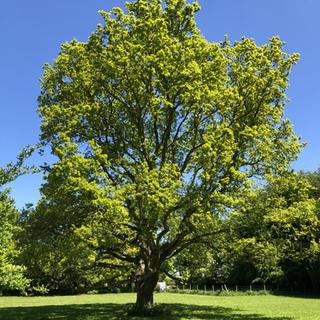 Our big oak tree