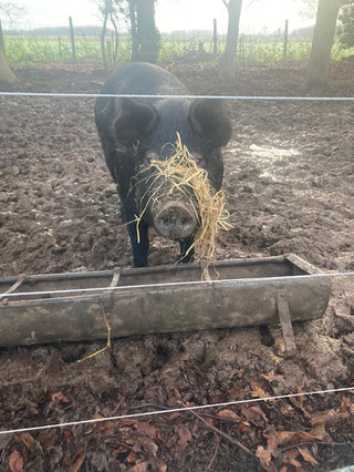 Meet Julie, one of our rare-breed pigs