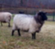 Grey Shetland ewe
