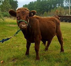 Dexter Bull