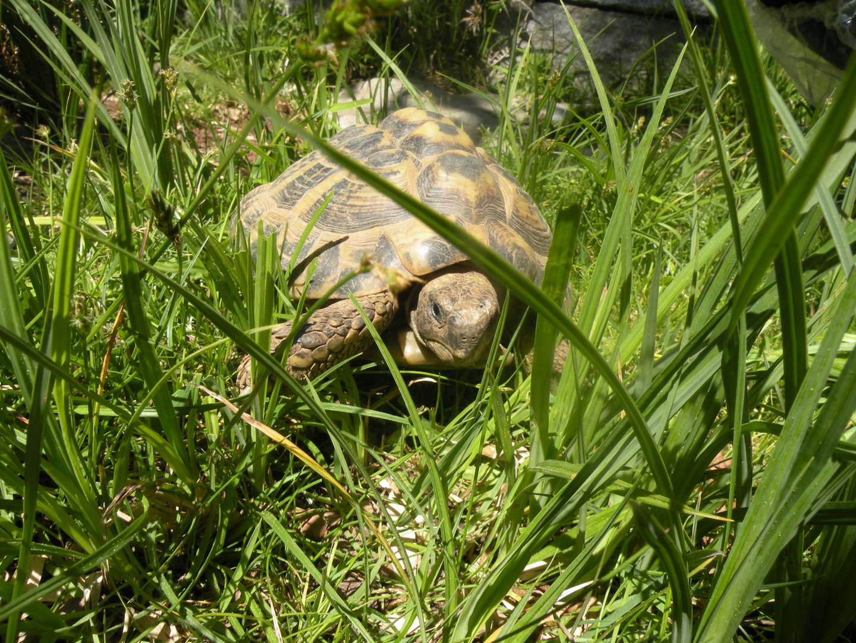 Clothilde – unsere Landschildkröte
