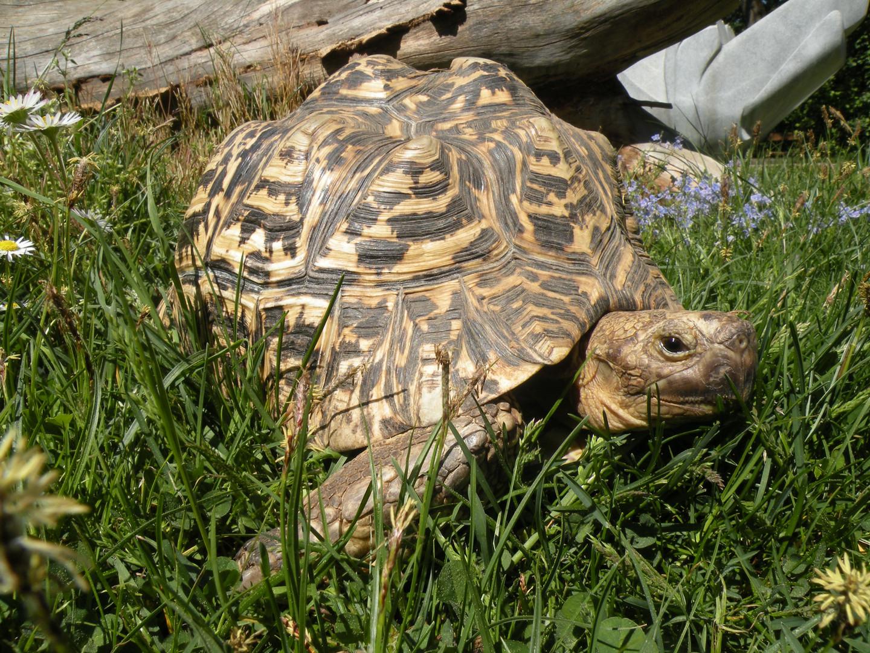 Hermine – unsere Pantherschildkröte