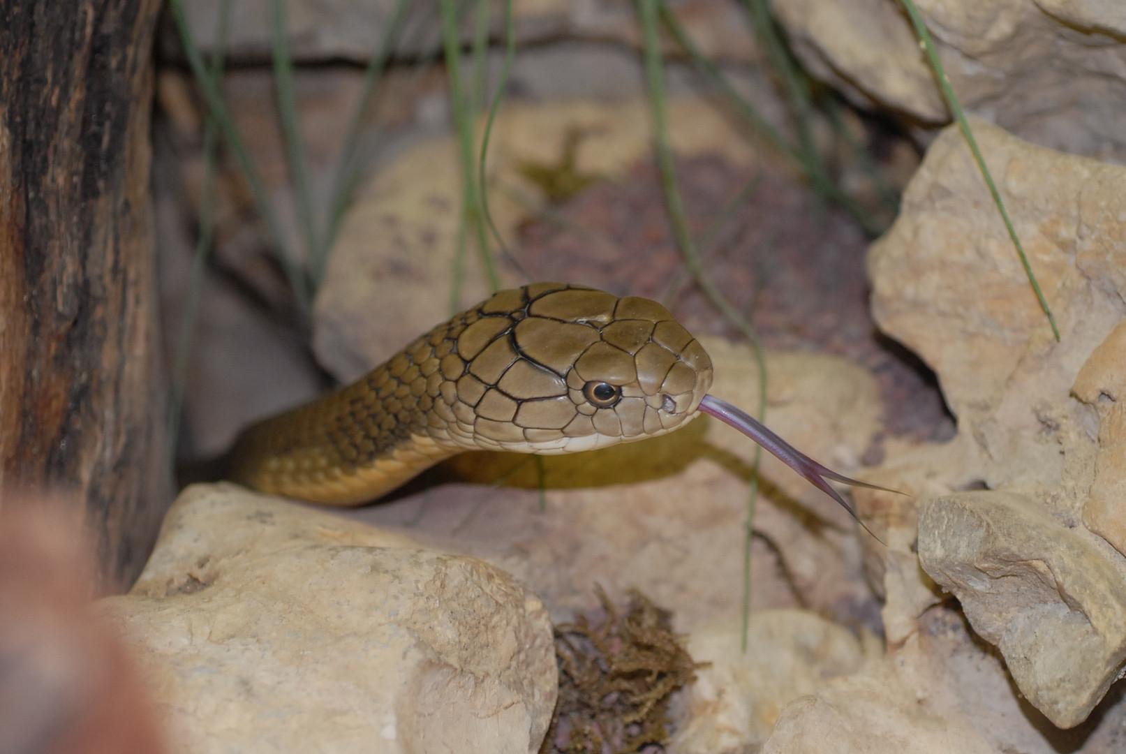Bhujanga – unsere Königskobra
