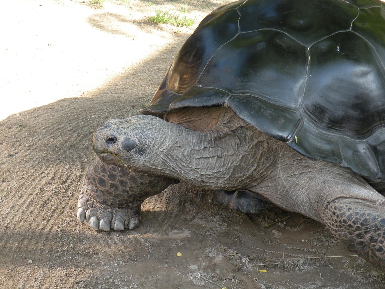 Poldi– unsere Galapagos-Riesenschildkröte