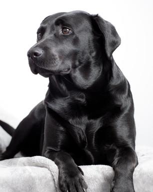 Black Labrador Studio Portrait