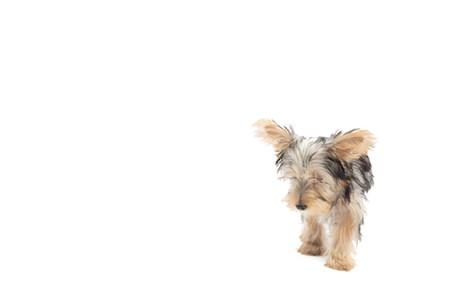 Small Dog Studio Photo