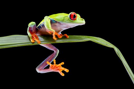 Red Eye Tree Frog Studio Photoshoot