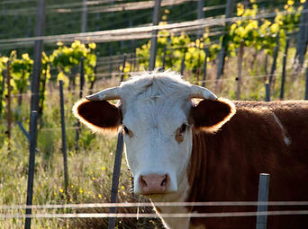 Kuh im Weingarten