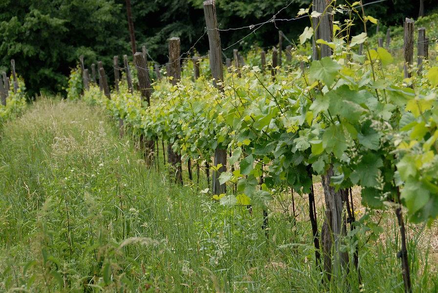Weingartenzeile mit Gras