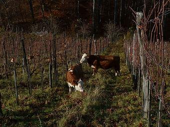 Rinder im Weingarten