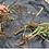 Thumbnail: Astragalus botanical extract