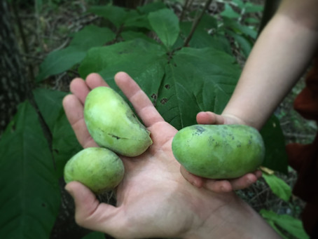 VIDEO: Pawpaw Hunting and Seed Stratification Process
