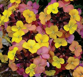 Erysimum Sky Tropical Sunset- Jaldety.jp