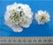 Iberis Masterpiece- Flower with ruler -