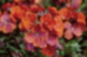 Erysimum Winter Rouge- Jaldety.jpg