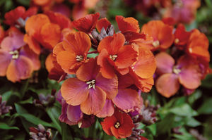 Erysimum Winter Rouge- Jaldety.jpg