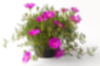 Lampranthus_Pink_-_Jaldety_©.jpg