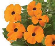Thunbergia_Orange-Jaldety_©.jpg