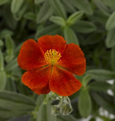Helianthemum_Henfield_Brilliant_-_Jaldet