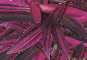 Setcreasea Pink Stripes 2 - Jaldety.jpg