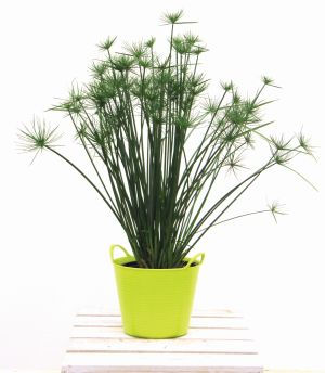 Cyperus_prolifer_Little_Prince_-_Jaldety