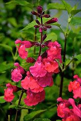 Salvia Ping Pong.jpg